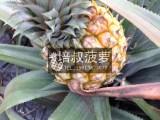 神湾度假村农家乐带你上山摘中山正宗神湾菠萝自驾游周边游