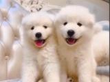 东莞本地 出售萨摩耶幼犬 本地狗现货挑选 健康保障