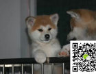秋田犬价格 秋田犬买卖 秋田犬哪里有 可爱的秋田犬