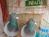 出售各种观赏鸽,品种