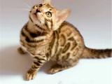 上海靜安貓舍直銷豹貓包郵出售
