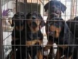 合肥哪有罗威纳犬卖 合肥罗威纳犬价格 合肥罗威纳犬多少钱
