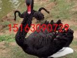 出售优雅天使黑天鹅,喜欢联系