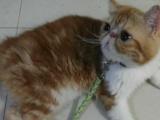 纯种加菲猫2500元 红虎斑加白 帅哥