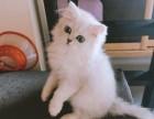 济南哪里有金吉拉猫卖 猫舍直销 健康活泼 包纯种 保养活