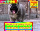 高加索犬--协议质保三个月--京津冀可送货上门挑选