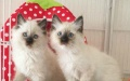 纯种布偶猫豹双色布偶猫幼猫蓝眼布偶宠物猫重点色布