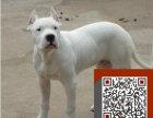 出售纯种杜高杜高幼犬赛级杜高犬欢迎上门看可送货