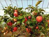 盆景苹果树果树盆景占地树 基地直销 盆景批发