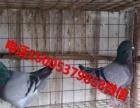 种鸽 幼鸽 青年鸽 山东种鸽批发市场