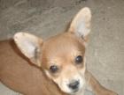 宠物寄养价格20元/天每天遛狗两次