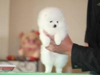 纯种哈多利版球体博美幼犬 可爱至极 雪白吴泪腺