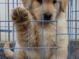 可愛金毛犬 保純種 三針疫苗齊全 健康血統有保障