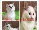za169 漂亮可爱性格温婉布偶猫出售,超漂