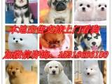 芜湖出售柴犬 秋田 泰迪 雪纳瑞 吉娃娃 可卡 蝴蝶犬可自提