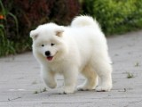 家养一窝纯种萨摩耶可以签协议 来家里看狗父母