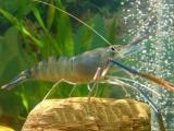 临汾南美白对虾苗室内淡水养殖 欢迎在线咨询