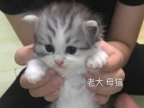 折耳苏格兰猫 母猫