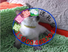 自家猫舍繁育一窝暹罗猫 包纯种 包健康