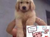 陵水純種金毛犬價格 陵水里能買到純種金毛犬