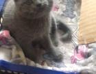 英短纯色蓝猫折耳
