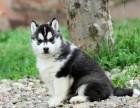 CKU认证出售极品 哈士奇幼犬完美品相签协议上