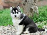 洛阳哈士奇幼犬出售 纯种哈士奇幼犬出售 双蓝眼哈士奇价格