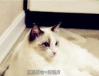 布偶猫宠物咪海豹重点色母猫CFA证书繁育权MM
