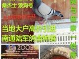 出售网鸽 种鸽 成绩鸽