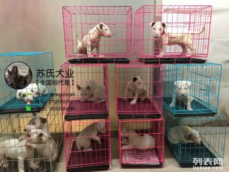 苏氏犬业出售海盗眼 虎皮 纯白牛头梗 比的不是价格 而是品质