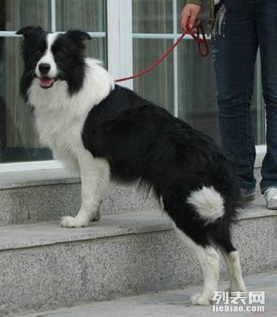 血统赛犬后代边境牧羊犬边牧咖啡基因陨石黑白幼犬出售