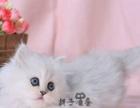 《金吉拉》超萌纯种幼猫,大眼睛,绿眼 蓝眼 纯种