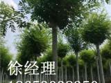 想要品质好的国槐就来菏泽市景鸿苗木基地,国槐代理商
