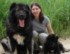 专业高加索繁殖基地出售赛级俄罗斯高加索幼犬 血统纯正