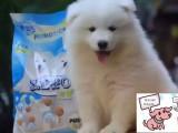 丽水纯种萨摩耶犬价格 丽水哪里能买到纯种萨摩耶犬