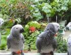 正宗人工繁殖刚果非洲灰鹦鹉