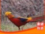 红腹锦鸡 白腹锦鸡 出售 羽毛丰满 毛色鲜艳