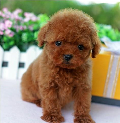 苏州泰迪熊犬一本地养殖狗场一直销各种世界名犬 常年售卖