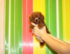 可基地挑选 专业繁殖泰迪犬 签协议包