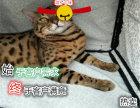 自家猫舍 专业繁殖孟加拉豹猫 上门亲选