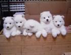 出售两个月左右的微笑天使萨摩幼犬
