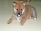 哪里有卖柴犬的 柴犬和秋田的区别 柴犬好养吗