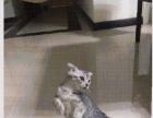 小小可爱的折耳猫找个爱它的主人