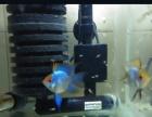阿凡达-燕尾鱼苗 可做种鱼 20条起卖 绝对可以繁殖