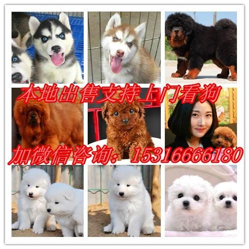 家养本地出售萨摩耶,拉布拉多,柯基,雪纳瑞,阿拉斯加,柴犬