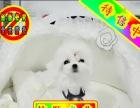 纯种马尔济斯犬——保证纯种健康、签订活体协议、可见狗父母