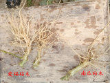 购买嫁接砧木就选爱福瑞康农业科技——山东抗线虫嫁接砧木
