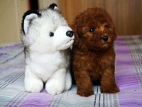 精品泰迪幼犬 玩具茶杯迷你泰迪均有 灰色咖啡色可选 东莞泰迪
