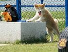 专业繁殖(秋田幼犬)可来基地挑选 签协议保健康
