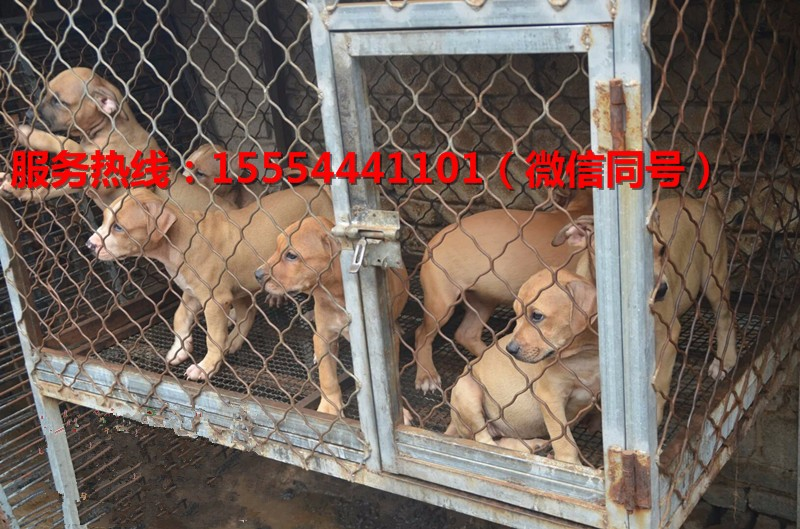 南宁正规大型比特犬养殖基地-最新比特犬幼犬价格与图片